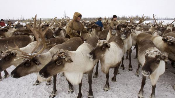 VIDEO. Au nord de la Russie, regardez la transhumance des cerfs et des rennes élevés par les Nenets