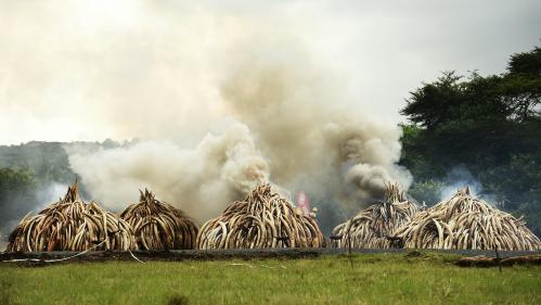 Le Kenya détruit 105 tonnes d'ivoire pour lutter contre le braconnage des éléphants