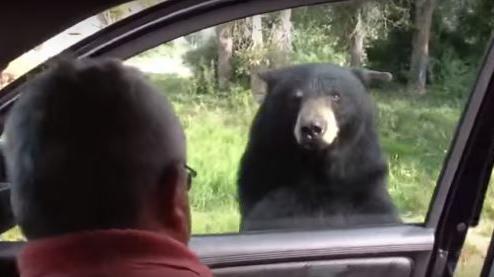 video etats unis un ours curieux tente d 39 ouvrir la porti re d 39 une voiture dans le parc de. Black Bedroom Furniture Sets. Home Design Ideas