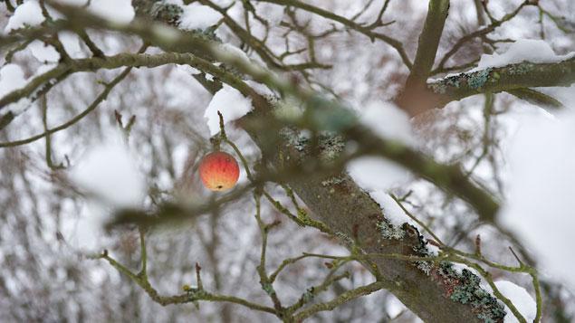 Arbres fruitiers un traitement bio pour l 39 hiver - Traitement arbres fruitiers ...
