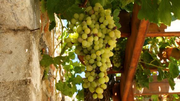 Planter sa vigne raisins de table - Comment planter un pied de vigne video ...