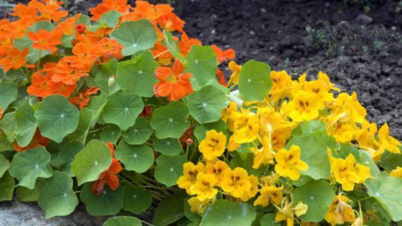 la capucine une jolie fleur qui devrait tre pr sente dans tous les jardins. Black Bedroom Furniture Sets. Home Design Ideas