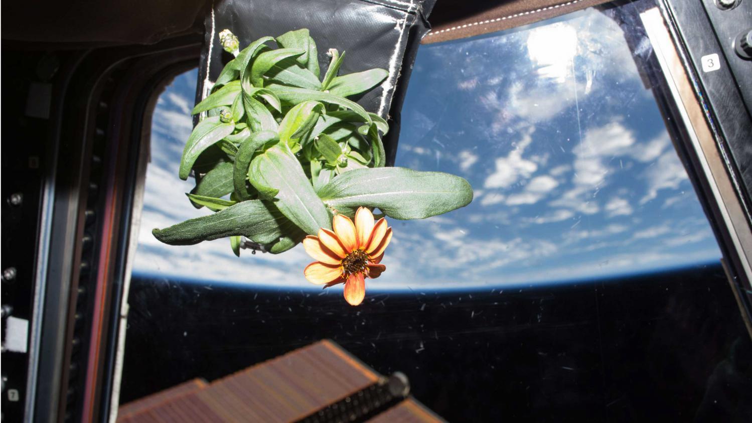 le zinnia fleur de l 39 espace et un livre pour sauver les serres d 39 auteuil. Black Bedroom Furniture Sets. Home Design Ideas