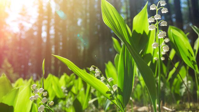 Comment replanter vos plants de muguet du 1er mai - Ou planter du muguet ...