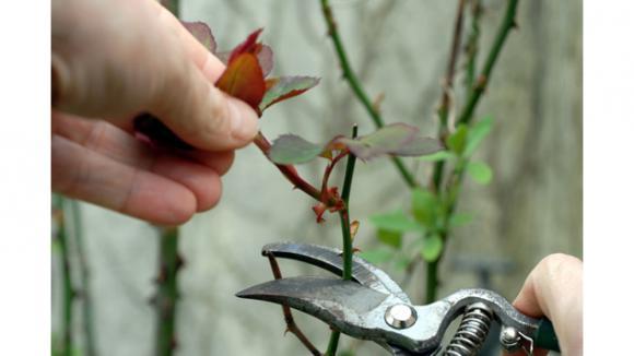 C 39 est le moment de tailler vos rosiers - A quel moment tailler les rosiers ...