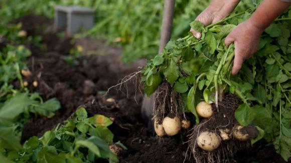 Planter des pommes de terre seulement quand le lilas fleurit - Date plantation pomme de terre ...