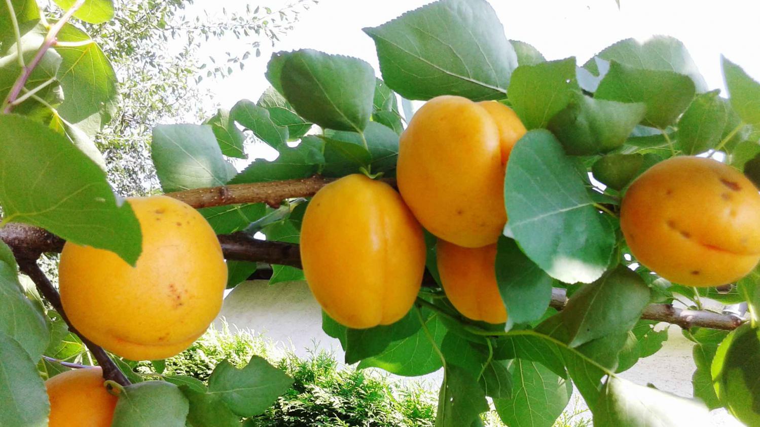 Soigner ses arbres fruitiers et cultiver l 39 oseille - Comment se debarrasser des fourmis sur les arbres fruitiers ...