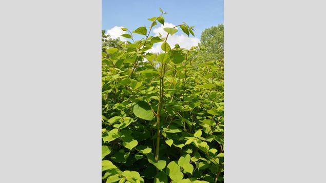 La renou e du japon la mal aim e des jardiniers et la f te des plantes chantilly - Fete des plantes chantilly ...