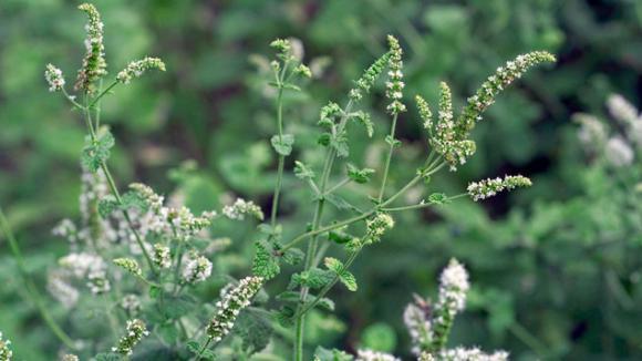 Toutes les menthes notamment sauvages sont elles comestibles - Les champignons de jardin sont ils comestibles ...