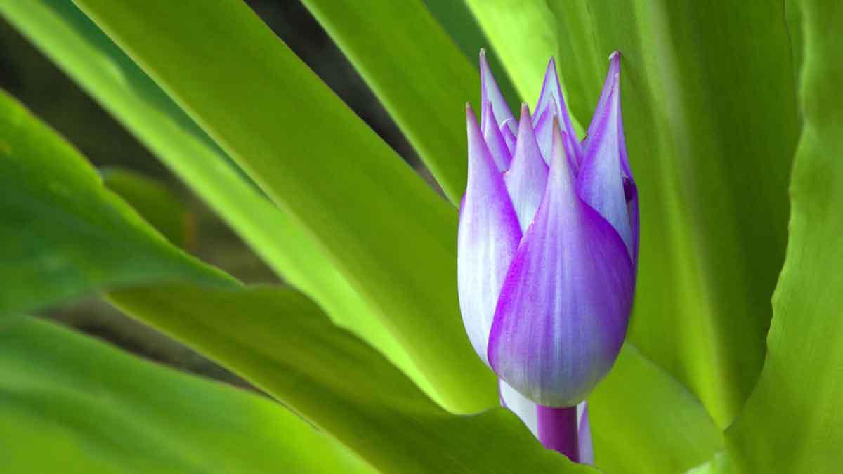 Le billbergia de la famille des brom liac es une plante for Plante decorative jardin