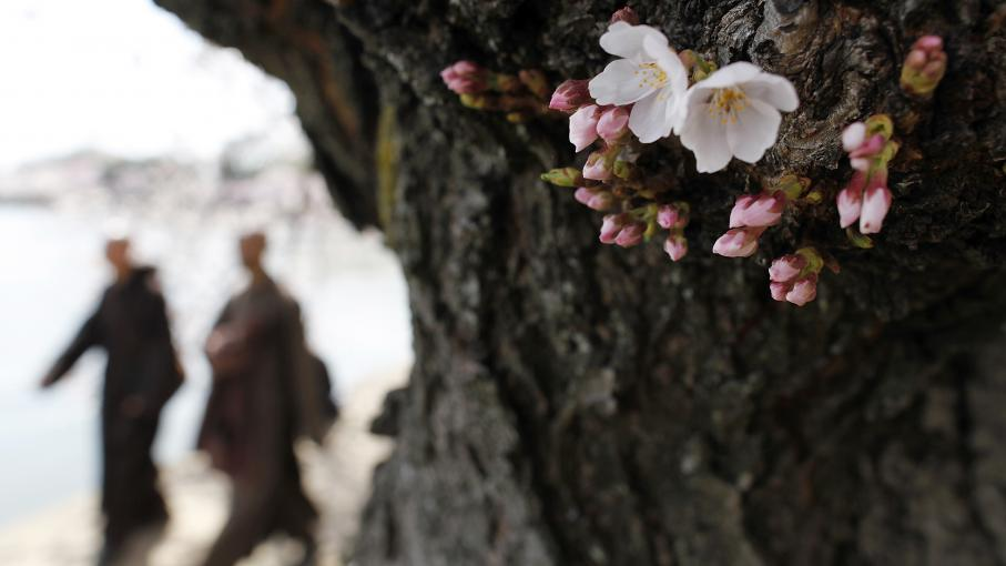 japon myst rieuse floraison d 39 un cerisier venu de l 39 espace. Black Bedroom Furniture Sets. Home Design Ideas
