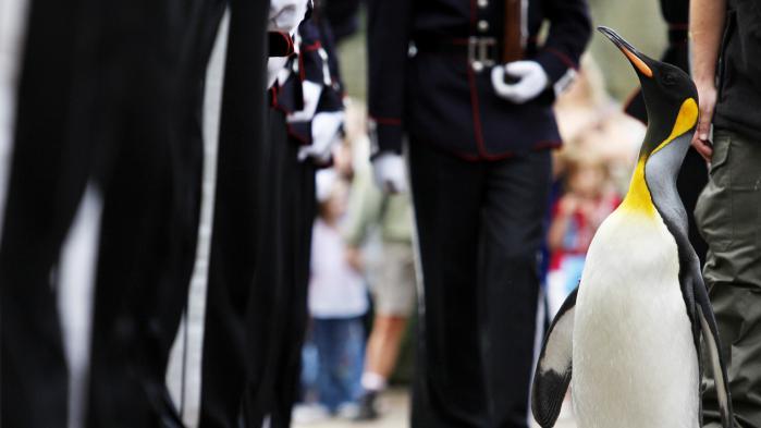 VIDEO. Un manchot royal du zoo d'Edimbourg passe en revue la garde royale norvégienne