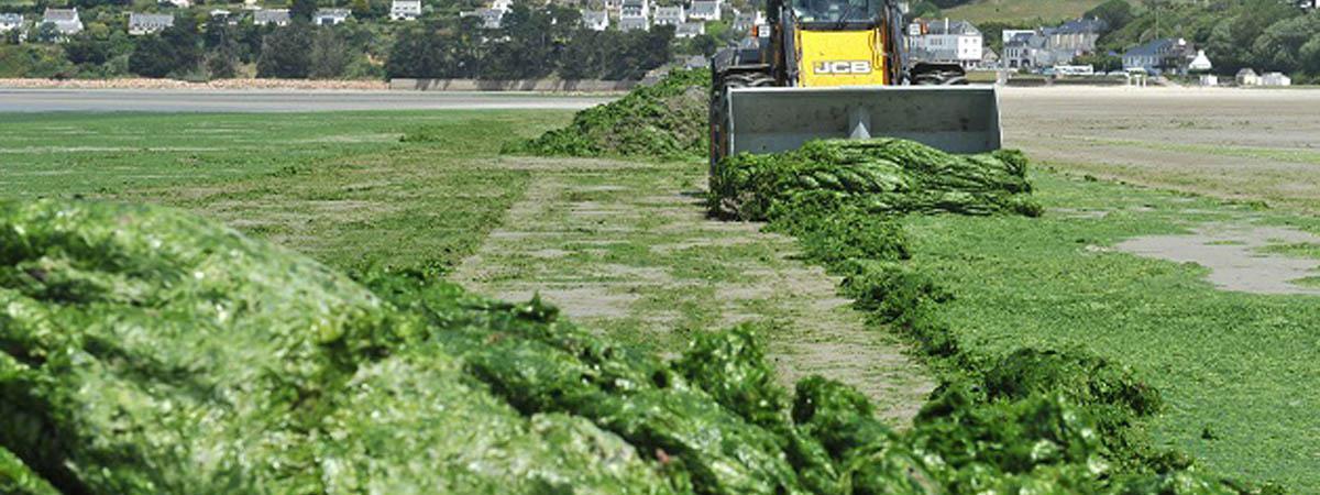 Algues vertes en bretagne des v rit s qui d rangent for Algues vertes dans piscine