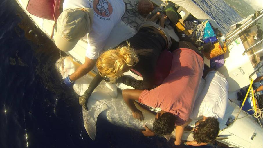 Requins des scientifiques entre le marteau et l 39 enclume - Requin enclume ...
