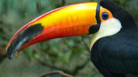 Pourquoi le toucan a-t-il un gros bec ? | Dossier  |Bec