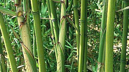 invasion de bambous figuier malade. Black Bedroom Furniture Sets. Home Design Ideas
