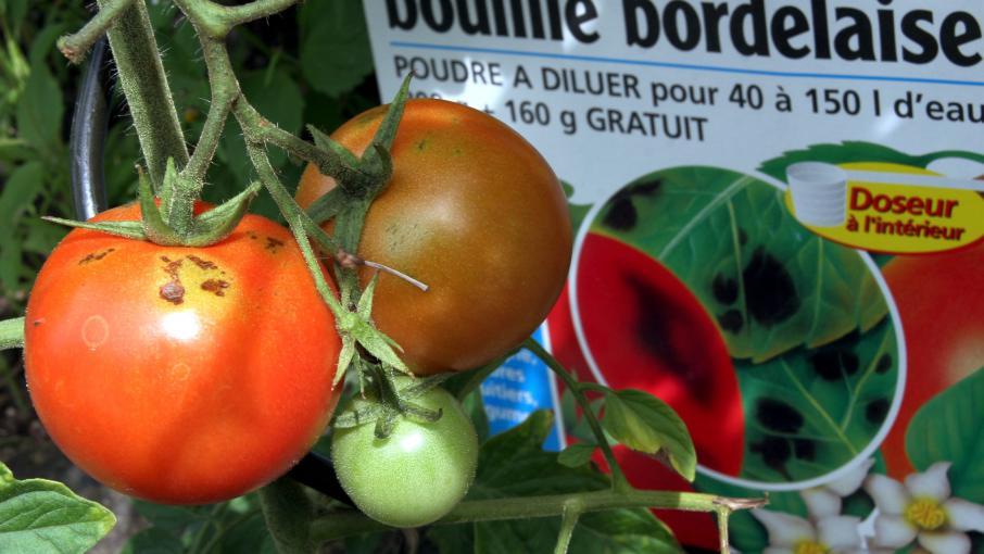 La bouillie bordelaise un danger pour l 39 environnement - Traitement arbres fruitiers avec bouillie bordelaise ...