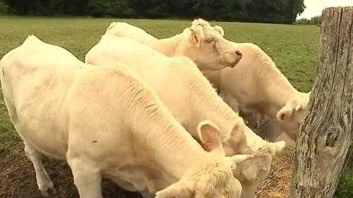 Après la crise du lait, la crise de la viande bovine se profile