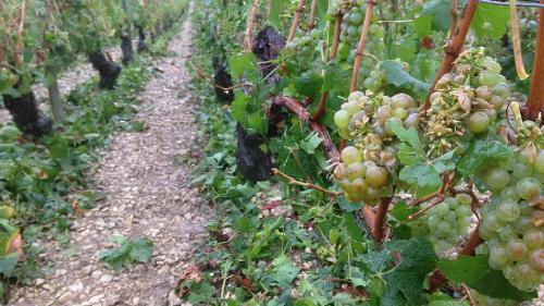 La météo menace la production de vin en France