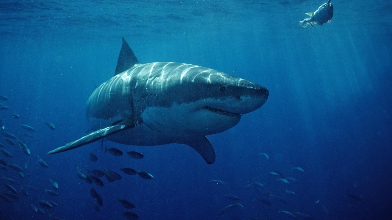 ile de la r union des filets pour lutter contre les requins. Black Bedroom Furniture Sets. Home Design Ideas