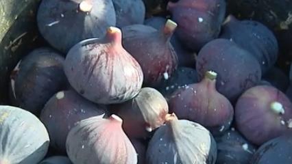 Var : les agriculteurs se lancent dans la production de figues AOP