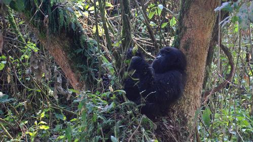 Zoo de Beauval : deux femelles gorilles vont être réintroduites en Afrique