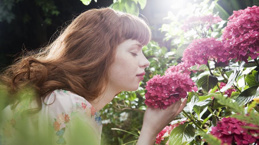 Jardin tailler ses hortensias ou pas - Faut il tailler les hortensias ...