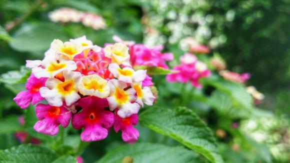 Jardin le lantana une plante vivace de toute beaut for Jardin fleurs vivaces