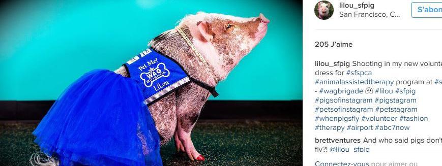 Le compte instragram dédié au cochon Lilou qui a été engagé par l\'aéroport de San Francisco (Etats-Unis) pour calmer les voyageurs stressés., le 5 décembre 2016.