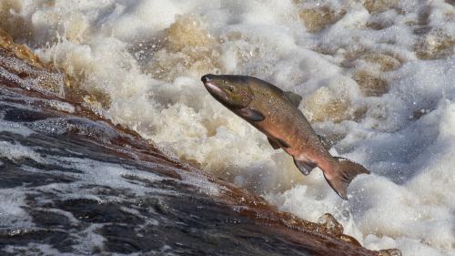VIDEO. Dans le Sud-Ouest, la guerre du saumon a (re)commencé