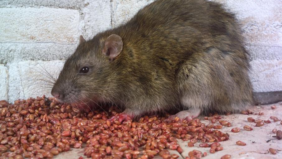grenoble des rats dans une cole maternelle. Black Bedroom Furniture Sets. Home Design Ideas