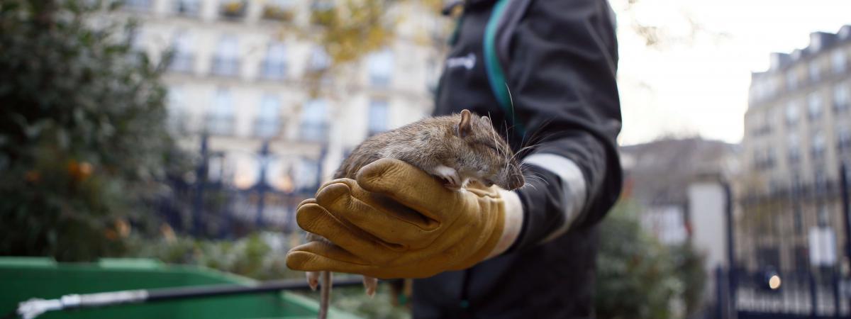 l 39 invasion de rats dans les rues de paris passionne les m dias trangers. Black Bedroom Furniture Sets. Home Design Ideas