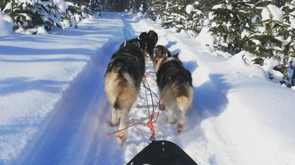 """Stéphane : \"""" Chaque conducteur va s\'occuper des 4 à 6 chiens de son attelage\"""""""