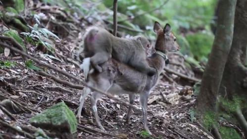 VIDEO. Un acte sexuel entre un macaque et une biche filmé par des scientifiques sur une île japonaise