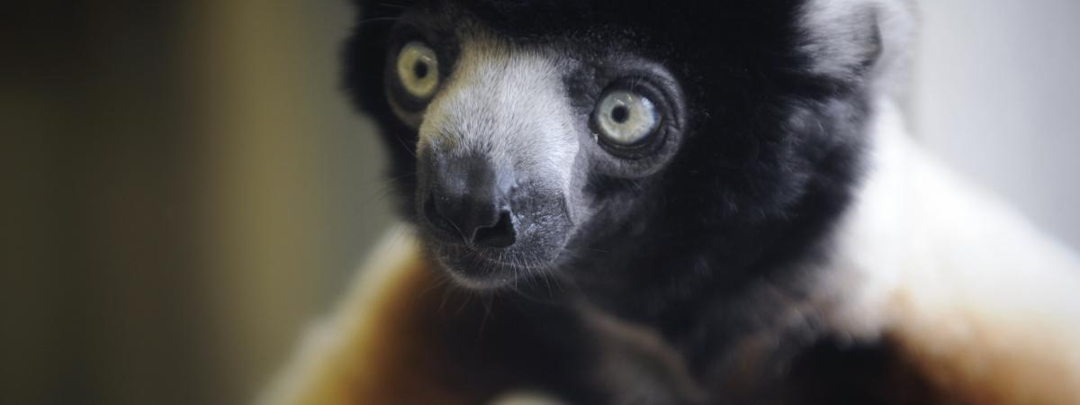 Madagascar : les lémuriens menacés par la déforestation
