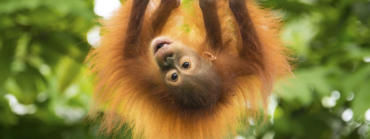 Hervorragend Pays-Bas : un programme de rencontres pour orangs-outans  CN93