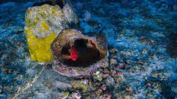 Un petit mérou (un coné ouatalibi)se cache dans une éponge baril du récif corallien de l\'Amazone, le 28 janvier 2017.