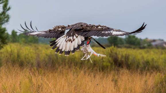 Le taux de réussite est très élevé. Les aigles royaux prennent les drones pour des gibiers et les interceptent à la demande des fauconniers.