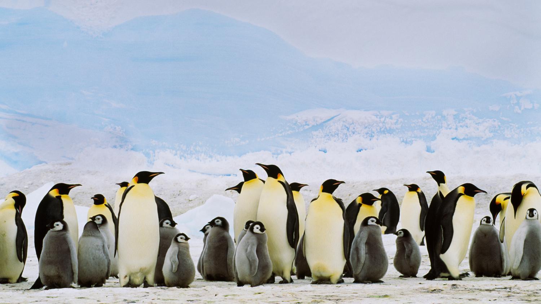 video comment distinguer les pingouins des manchots. Black Bedroom Furniture Sets. Home Design Ideas