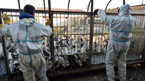 Grippe aviaire: que vont devenir les canards abattus?