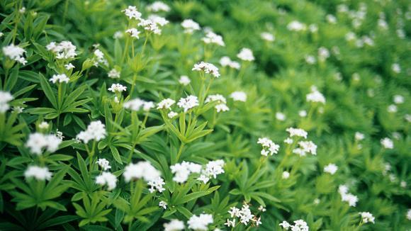 Jardin. L\'aspérule odorante au parfum de vanille et d\'amande