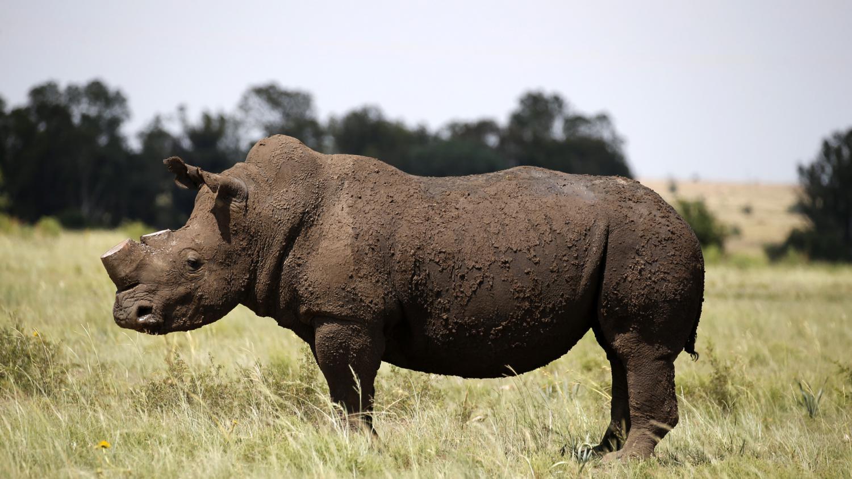 c 39 est comment ailleurs le braconnage des rhinoc ros en afrique du sud. Black Bedroom Furniture Sets. Home Design Ideas