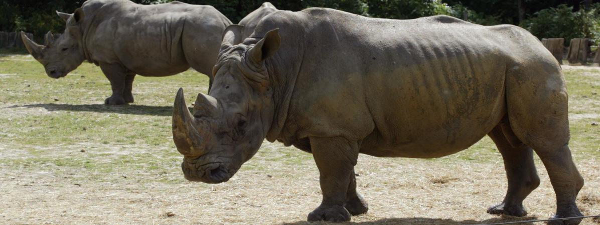 un rhinoc ros abattu par des braconniers dans le zoo de thoiry