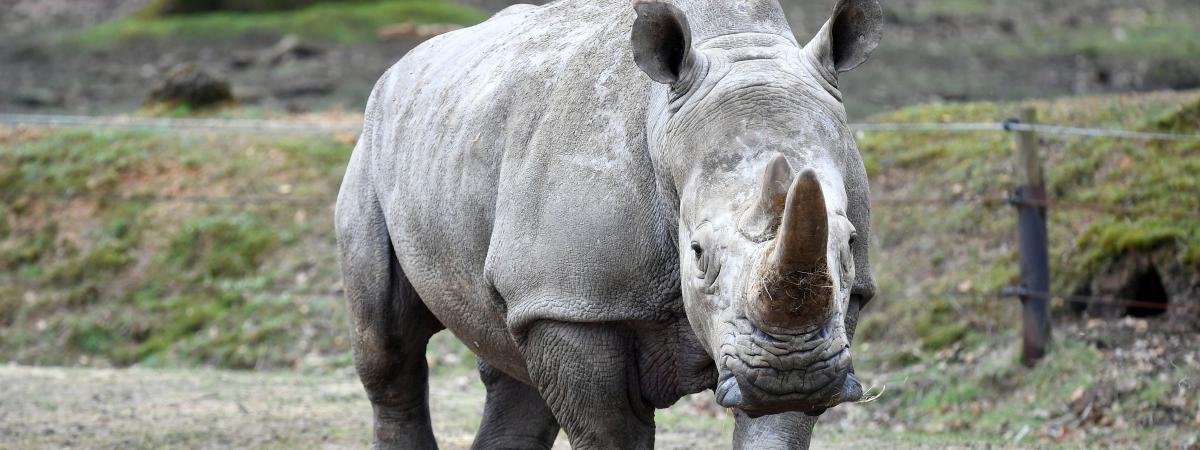 Rhinoc ros abattu comment les zoos peuvent ils se for Parc animaux yvelines