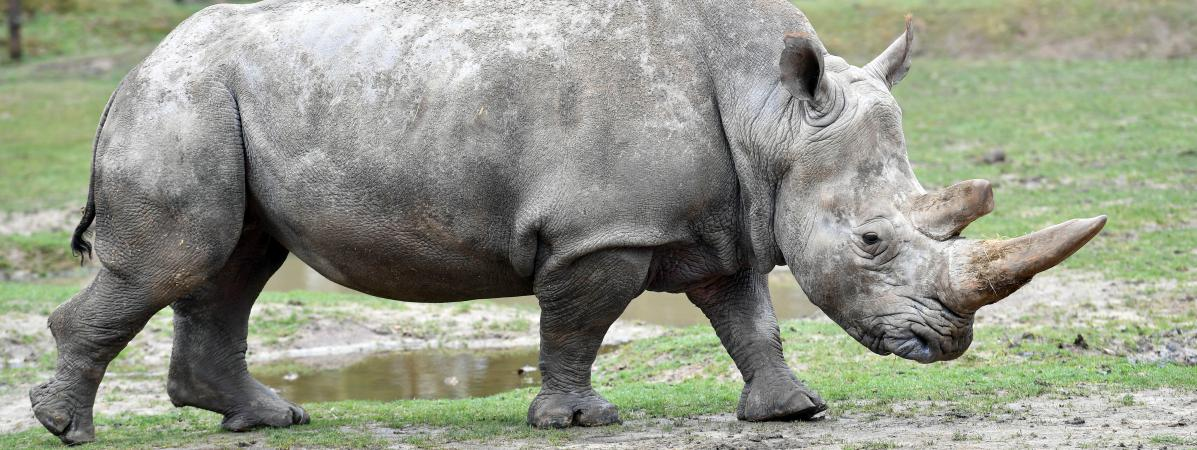 Rhinoc ros abattu au zoo de thoiry la france nouveau for Zoo en yvelines