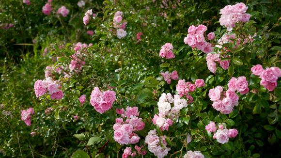 jardin c 39 est le moment de tailler vos rosiers. Black Bedroom Furniture Sets. Home Design Ideas