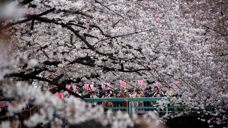 video la floraison des cerisiers c l br e au japon. Black Bedroom Furniture Sets. Home Design Ideas