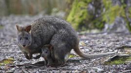 Australie : un wallaby se promène en pleine ville et échappe aux policiers