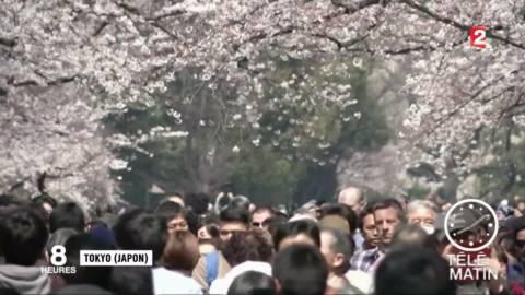 japon la floraison des cerisiers envahit tokyo. Black Bedroom Furniture Sets. Home Design Ideas