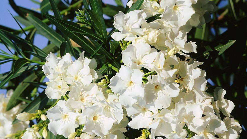 fleurs blanches eau de toilette